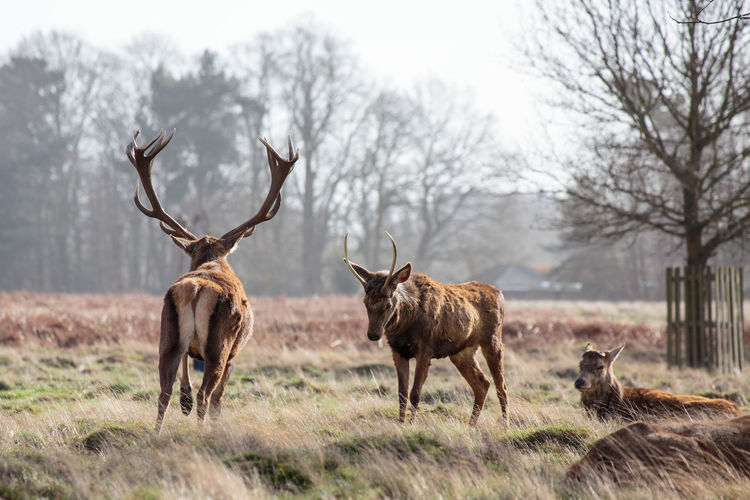 Deer in Bushy Park in Early Spring Deer Bushy Park Animal Wildlife Animal Animals In The Wild Animal Themes Mammal Group Of Animals Land Plant Field Day Grass Nature Herbivorous Rural Scene Rural Antler Spring Springtime