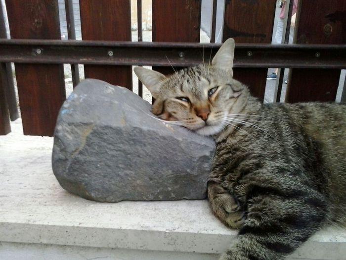 Sampietrino Sleep Cat