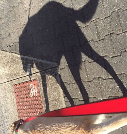 My shadow and me Shadow Shadowplay Labrador Dog Dog Walking Street Sunlight Outdoors Lifestyles Pets Animal Themes Domestic Animals One Animal Miltonbiscuit Pavement Red Lead Golden Labrador Pet Portraits
