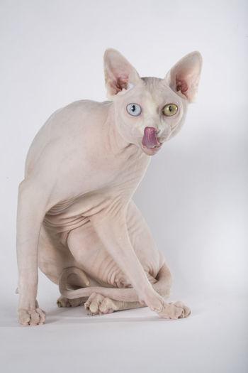 Portrait Of Sphynx Cat Sitting Against White Background