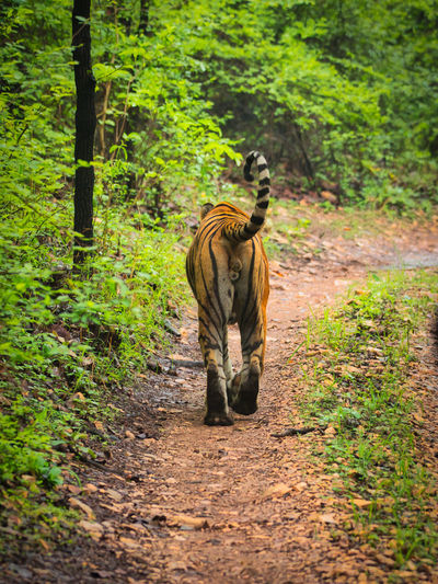Rear view of tiger in ranthambhore national park