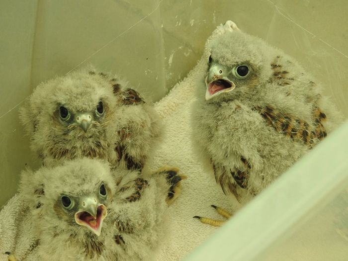 Feed me Kestrel Chicks Young Bird Young Animal Togetherness Indoors  No People Nature Bird Of Prey Close-up Kestrel Bird Photography