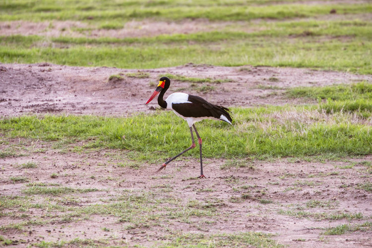 Animals In The Wild Standing Animal Animal Themes Animal Wildlife Animals In The Wild Bird Day Environment Field Full Length Grass Green Color Land Nature No People One Animal Outdoors Plant Side View Stork Vertebrate Waling Around Walking Wildlife