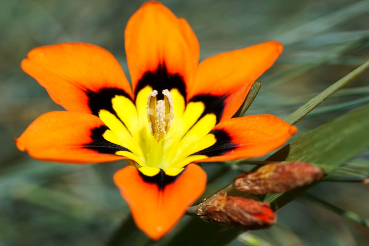 Sparaxis hybrid flowers in a garden Beauty In Nature Blooming Botany Bulbs Close-up Flower Flower Bulbs Flower Head Fragility Freshness Growth Macro Macroclique Nature Orange Color Patterns In Nature Petal Plant Yellow