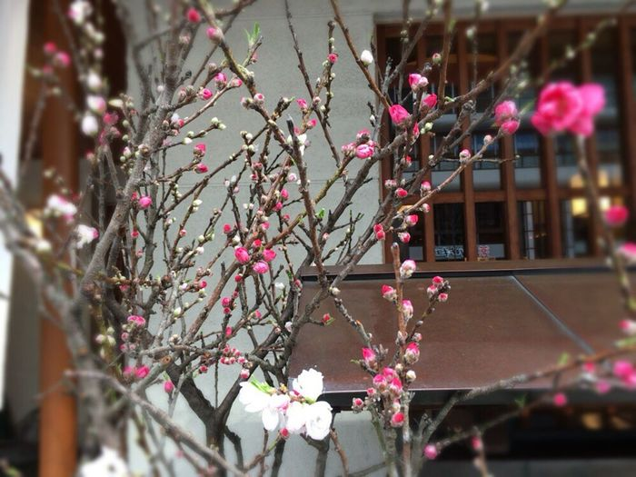 Kyoto Spling Kyoto Prunus Mume Japanese Apricot Prunus Mume Ume Red And White Ume Kouhakubai Japanese Luxury Flowers Lucky Ume Bloom In Two Colors