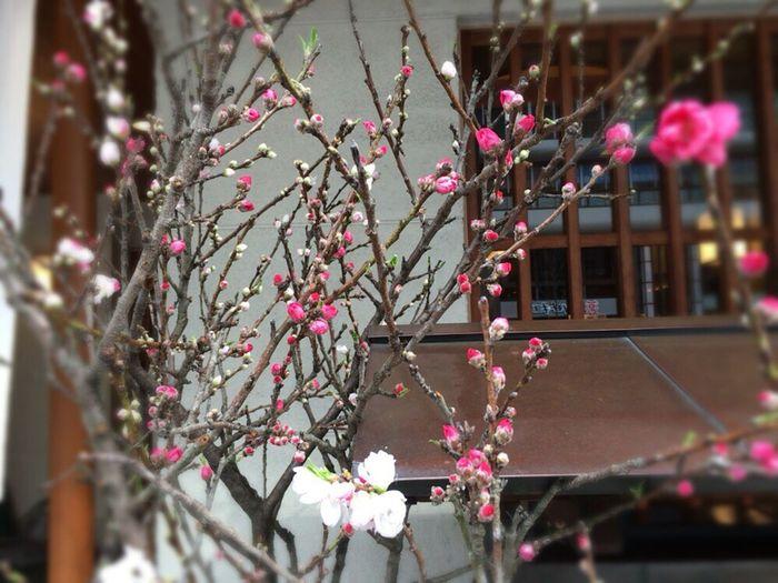 Bloom In Two Colors Lucky Ume Japanese Luxury Flowers Kouhakubai Red And White Ume Ume Prunus Mume Japanese Apricot Kyoto Prunus Mume Kyoto Spling Kyoto,japan