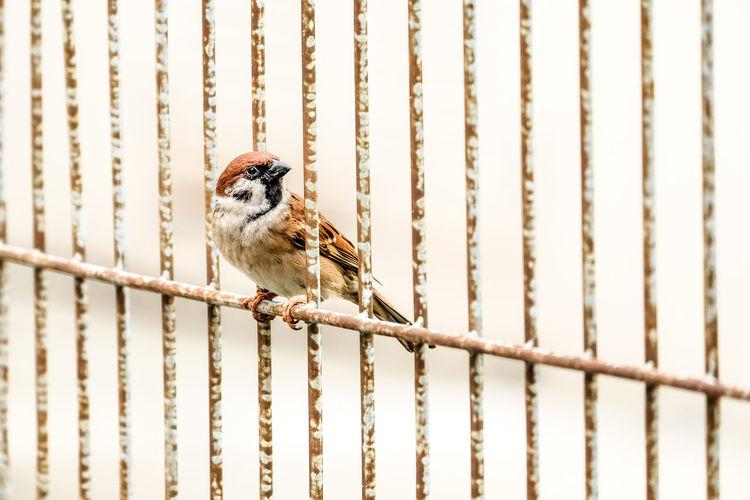 Sparrow perching on railing