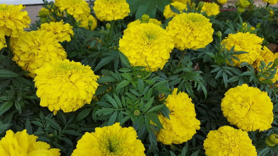 Flower, Flower Yellow Freshness Fragility Petal Flower Head Beauty In Nature Growth Close-up Nature Backgrounds Blossom Botany Plant In Bloom Full Frame Vibrant Color Softness Abundance Springtime