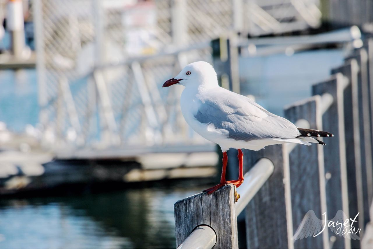 SEAGULL PERCHING ON WOODEN RAILING