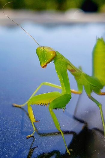 Praying Mantis preparing to attack. Attacking Position Attacking  Attacking Posture Blue Predator Macro Macro Photography Green Close-up Animal Themes Praying Mantis Insect Leg Animal Eye Bug