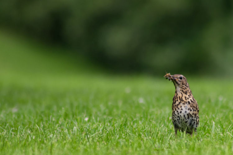 Close-up of bird perching on grass in field