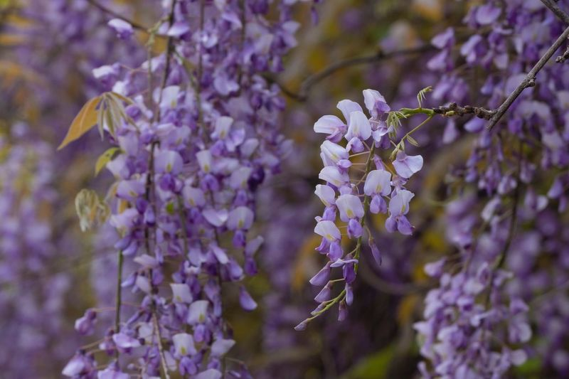 Flowering Plant Flower Plant Fragility Beauty In Nature Vulnerability  Freshness Selective Focus Inflorescence Day Flower Head Lavender Focus On Foreground Purple Growth No People Close-up Petal Nature Blossom