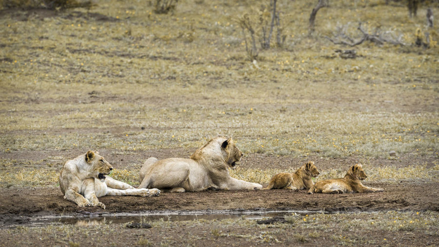 Lionesses sitting with cubs on land