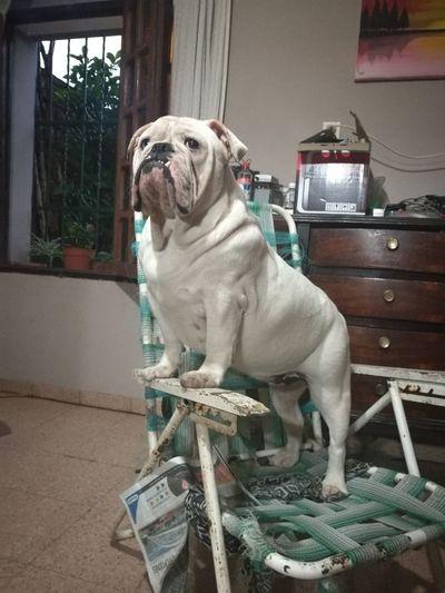 Bulldog Inglés Pets Dog