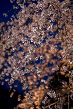 Cherry Blossoms Flower Light Nigth  Pink Flower Rikugien Garden Sakura Sakura2016 Yozakura 六義園 夜桜 Ultimate Japan