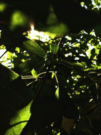 Leaves Green The Great Outdoors - 2016 EyeEm Awards Tree Summer Peasefull Sun Hellosummer  Beginnerphotographer Sunlight Outdoors Sunbeam Plant Nature EyeEm Nature Lover Showcase June The Great Outdoors - 2017 EyeEm Awards Perspectives On Nature