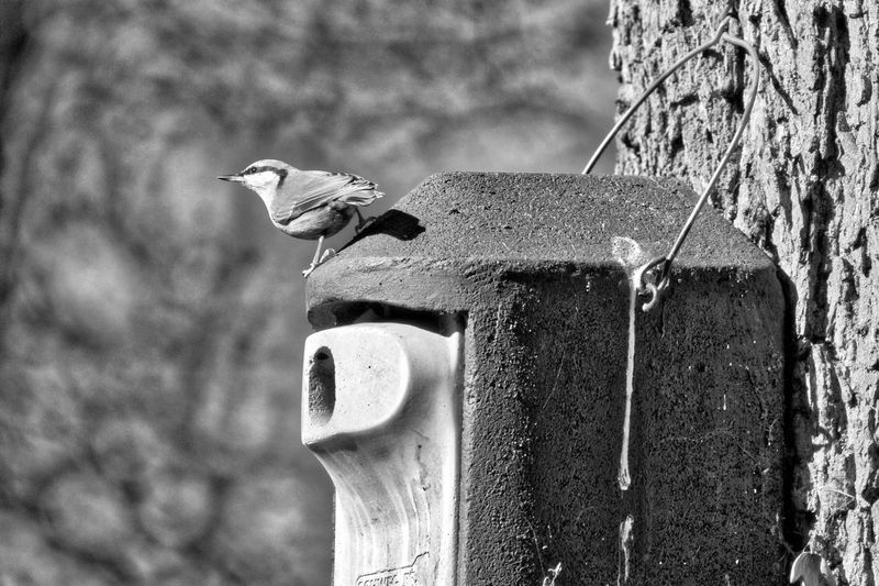 Animal Themes Animal Wildlife Animals In The Wild Bird Black And White Close-up Day Focus On Foreground Nature No People One Animal Outdoors Perching