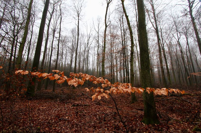 A December Sunday in the woods ... Beauty In Nature Forest Landscape Nature No People Outdoors Scenics Tranquil Scene Tranquility Tree Tree Trunk WoodLand