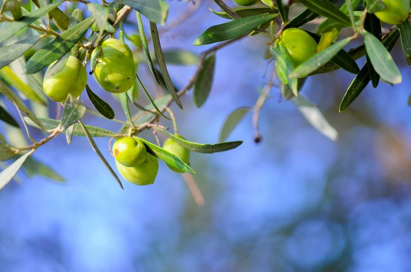Close-up of raw fruits hanging on tree
