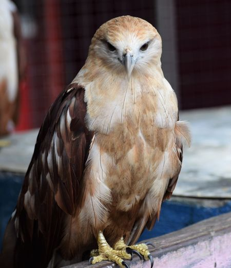 Animal Wildlife Animals In Captivity Animals In The Wild Bird Bird Of Prey Brown Close-up Day Focus On Foreground Looking At Camera Nature No People One Animal Outdoors Perching Portrait Vertebrate