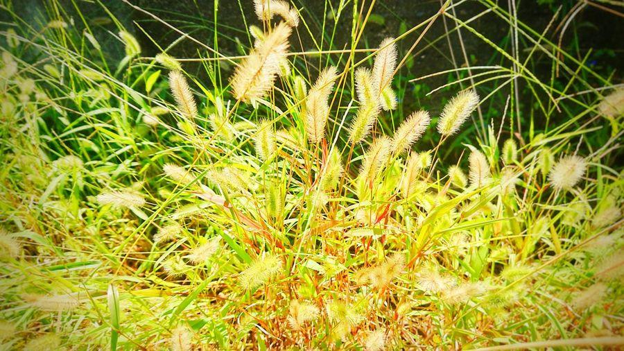 ねこじゃらし Autumn Setaria Foxtail Foxtail Grass Bristle Grass Backgrounds Full Frame Field Close-up Grass Plant Green Color Fall