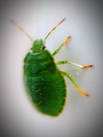 Green Shieldbug Common Insect Leaflike Green Orange Garden Life Bugs Life Bug Macro Macro Photography