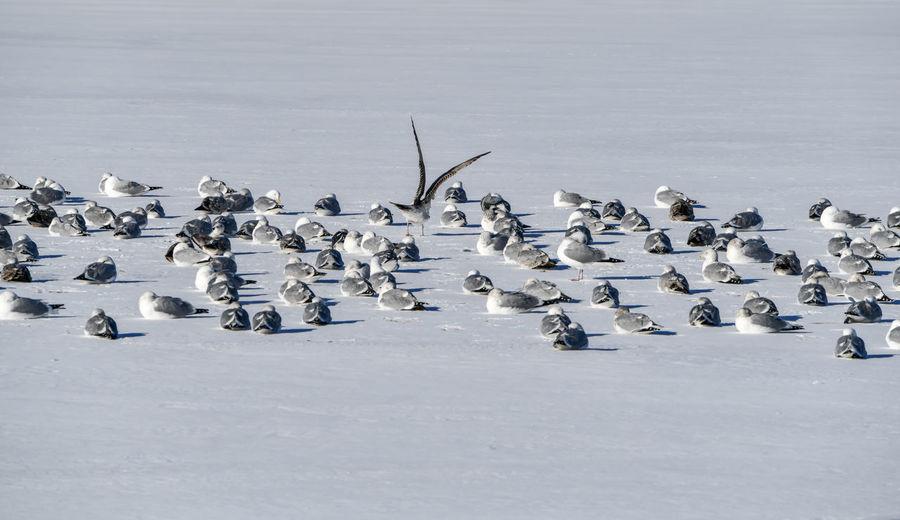 Flock of birds in snow