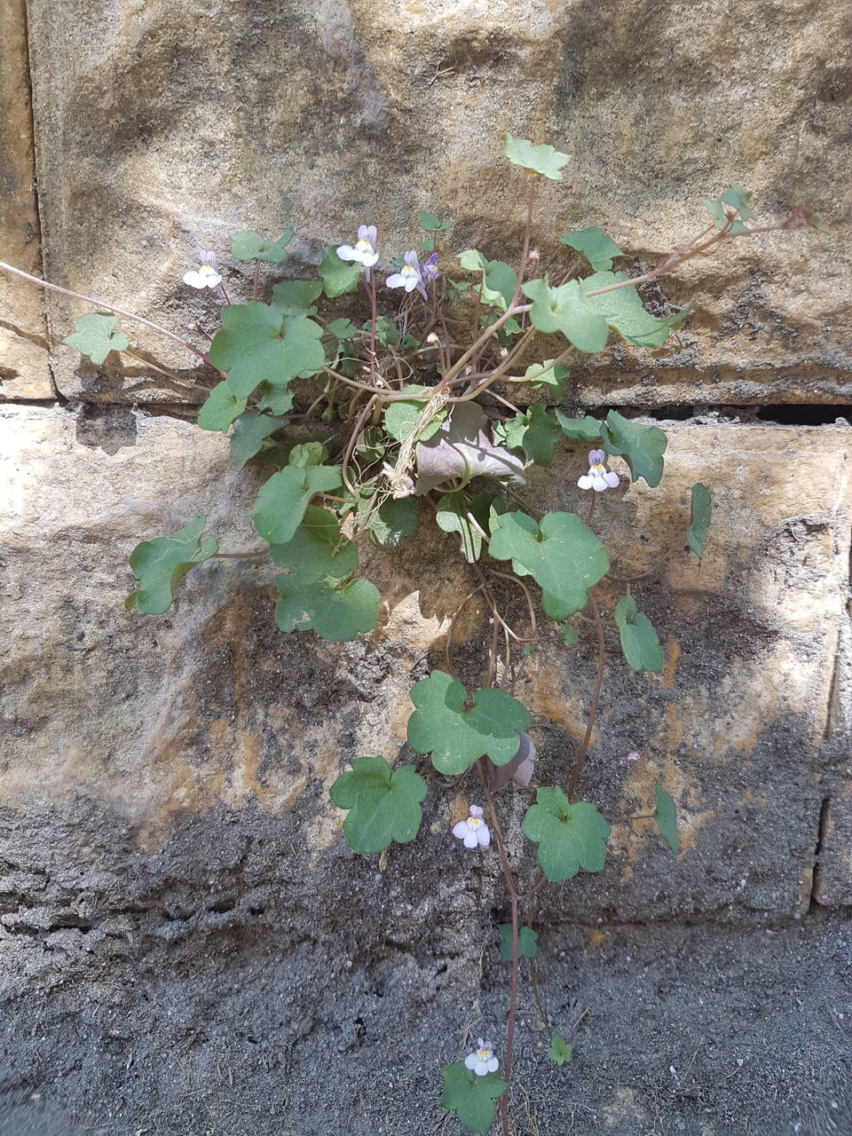 plant part, leaf, plant, growth, day, nature, no people, built structure, close-up, beauty in nature, green color, architecture, wall - building feature, outdoors, wall, ivy, creeper plant, tree, high angle view, building exterior