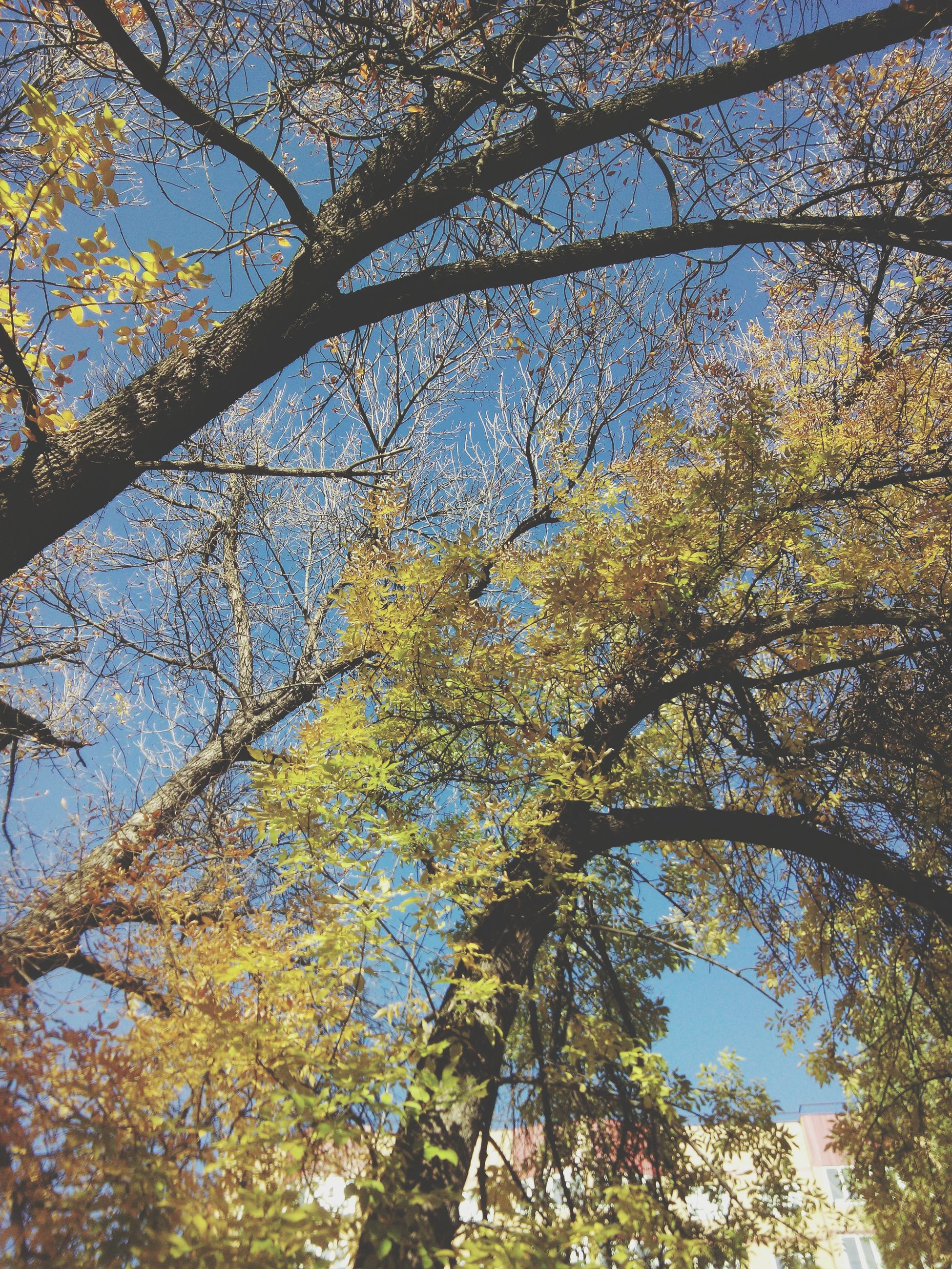 tree, low angle view, branch, growth, nature, yellow, sky, beauty in nature, tranquility, autumn, leaf, day, tree trunk, outdoors, no people, sunlight, clear sky, green color, change, scenics