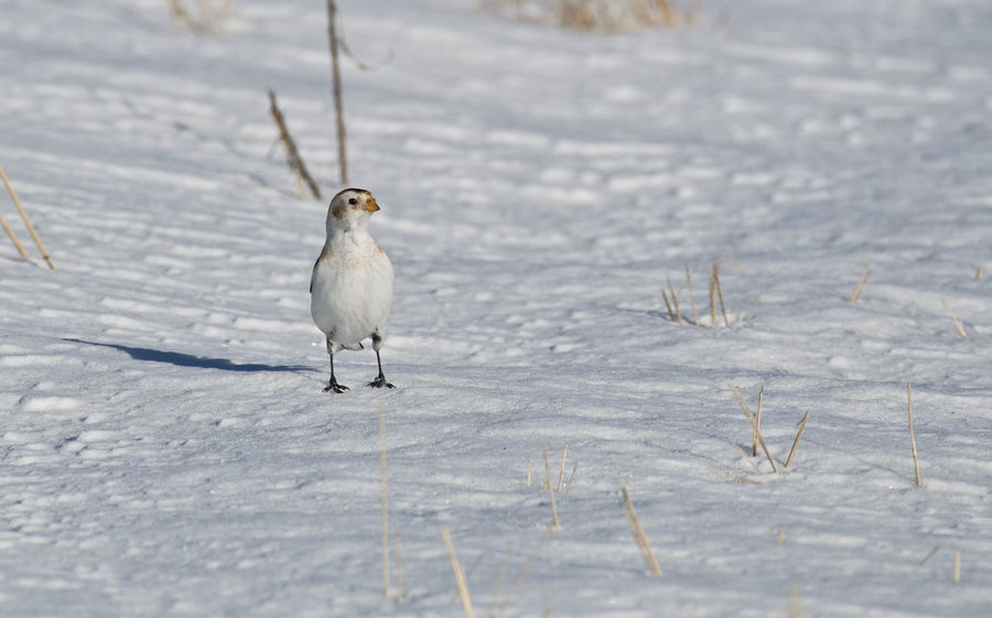 Snow bunting Animal Themes Animal Wildlife Animals In The Wild Beauty In Nature Bird Close-up Cold Temperature Day Field Mammal Nature No People One Animal Outdoors Perching Plectrophenax Nivalis Snow Snow Bunting Winter