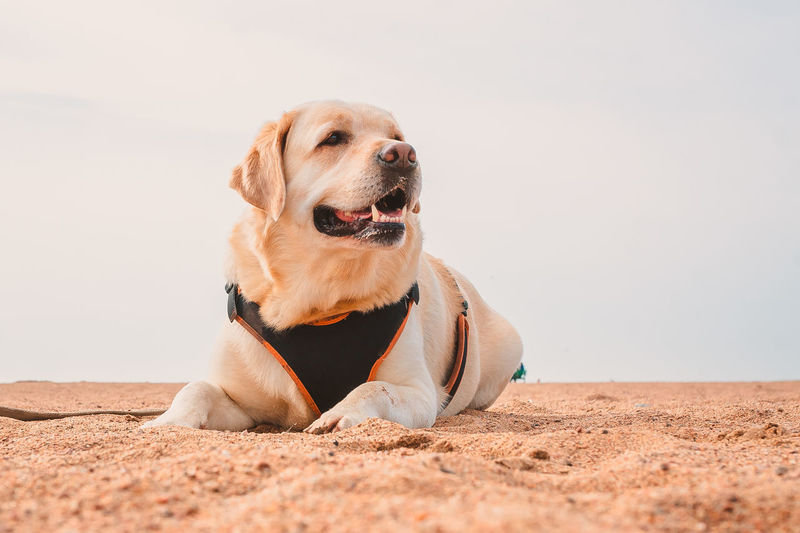 A happy labrador retriever is lying on the sand. rest of the dog on the sea