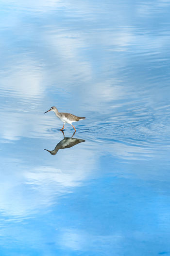 A Marbled Godwit stilt shorebird wades through calm reflective still tidal sea waters. Reflection Animal Animal Themes Animal Wildlife Animals In The Wild Beauty In Nature Bird Day Flying Marine Mid-air Motion Nature No People One Animal Outdoors Reflection Sea Seagull Shorebird Spread Wings Stilt Vertebrate Water Waterfront