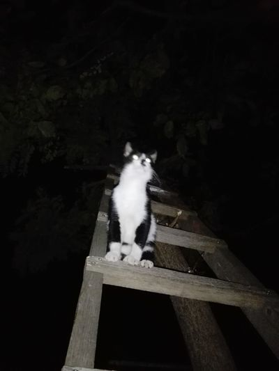 Cat On Ladder Night Cat Ladder Acacia Tree Tree Nightphotography Domestic Cat No People One Animal Full Length Domestic Animals Outdoors Nature WOLFZUACHiV Photography Huawei Photography On Market Wolfzuachiv WOLFZUACHiV Photos Veronica Ionita Ionita Veronica Eyeem Market Huaweiphotography No Person Animal Themes