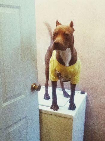 el rey de la lavadora Pitbull Chiflado Bebe 9meses