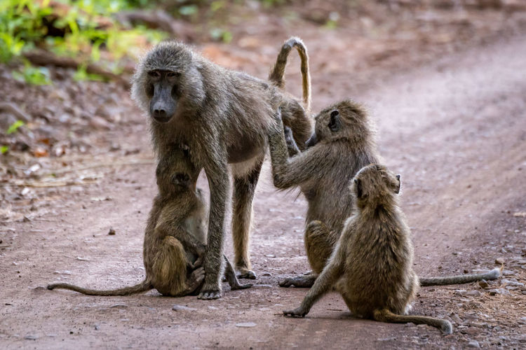 Ape Tanzania Africa Animal Baboon Monkey Olive Baboon Primate Safari Safari Animals Wildlife