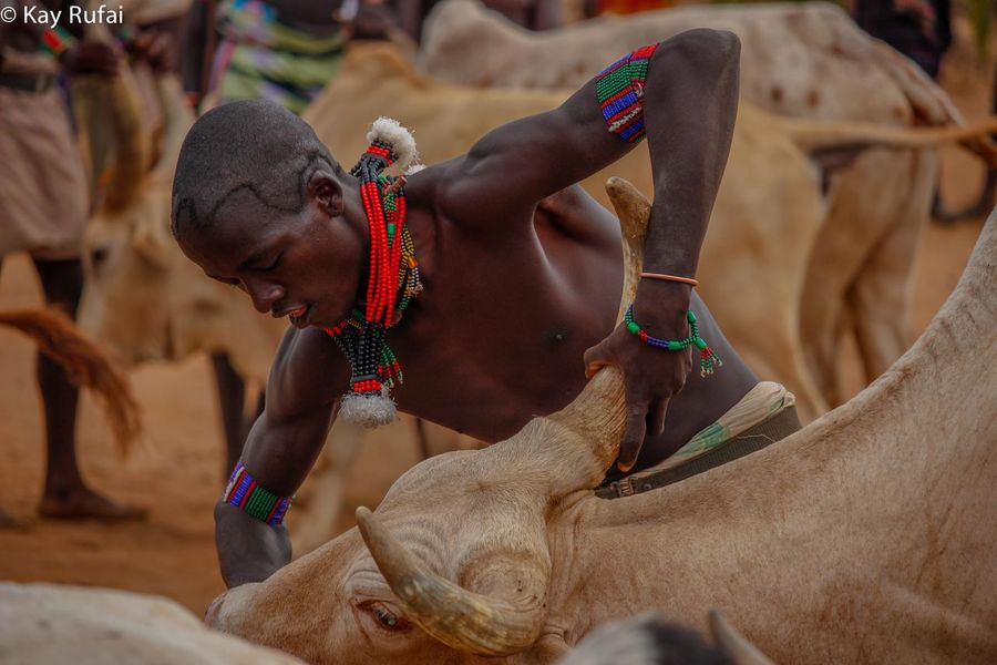 Capture The Moment the battle to line up the Bulls for the Bulljump Ceremony Ethiopia Hamertribe