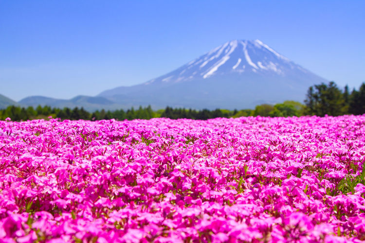 Mt. Fuji with pink carpet of shibazakura or phlox mosses in spring Mt. Fuji, Japan Beauty In Nature Day Flower Fragility Freshness Landscape Mountain Nature No People Outdoors Phlox Mosses Pink Color Scenics Shibazakura Sky Tranquil Scene Tranquility