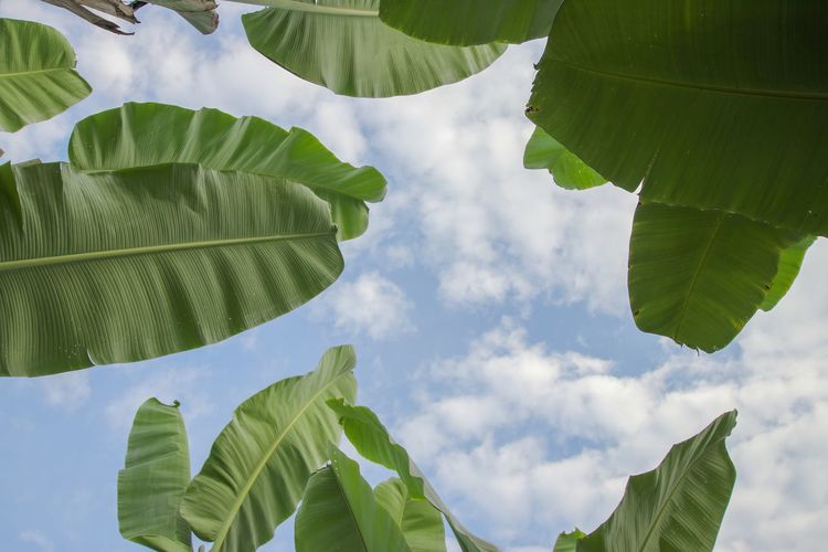 Low angle view of green banana leaves against sky