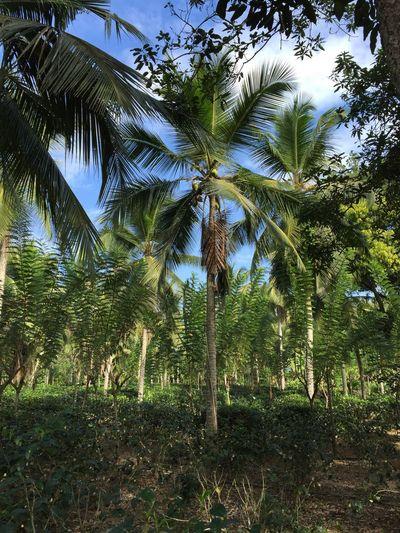 Sri Lanka Sri Lanka Travel Tea Plantation  Travel Destinations