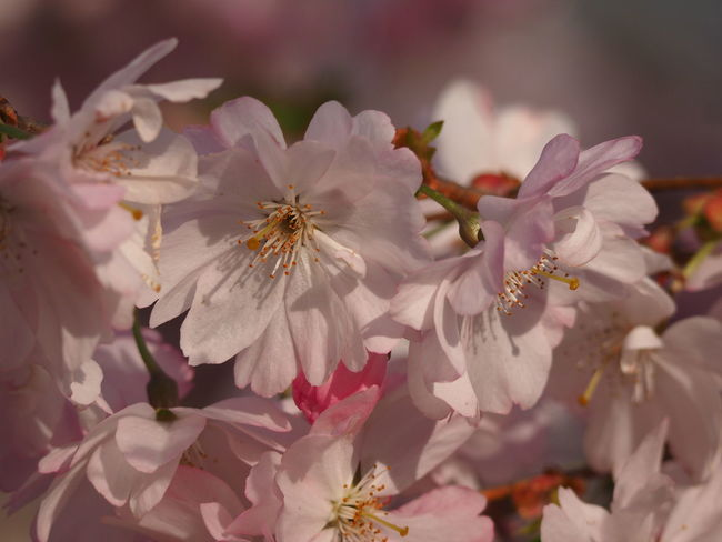 Beauty In Nature Botany Cherry Blossom Cherry Tree Close-up Day Flower Flower Head Flowering Plant Focus On Foreground Fragility Freshness Growth Inflorescence Nature No People Outdoors Petal Pink Color Plant Pollen Springtime Vulnerability