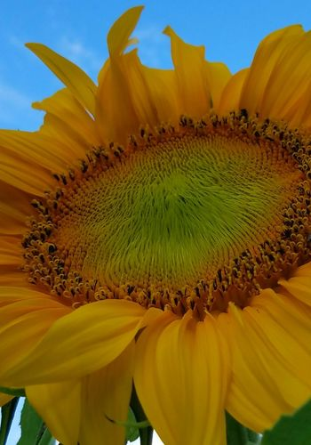 Passionate about sunflowers.🌻🌻🌻🌞 Nature Photography Nature_collection Naturelovers Outdoorphotography Eyemphotography Check This Out Sunny Day Flower Photography Flowerporn Floweroftheday Flowers_collection Flower Head Flower Beauty Springtime Sunflower Petal Closing Full Frame