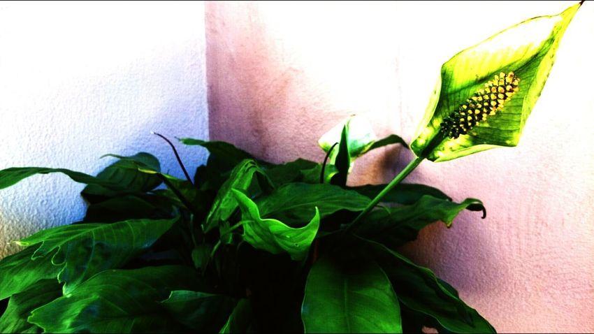 Flor copo de leite. Plant Green Color Flower Beauty In Nature