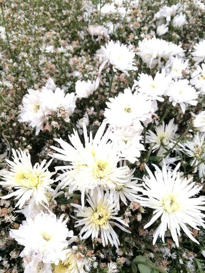 Flower Growth Nature White Color Beauty In Nature Freshness No People Fragility Flower Head Blooming Petal Plant Close-up