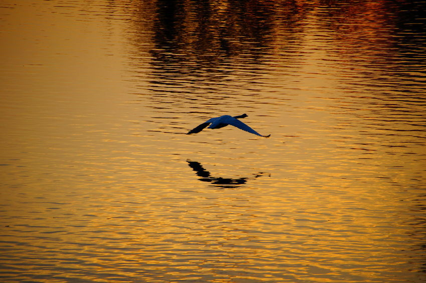 10.2014 Beauty In Nature Day Flying Swan Idyllic Nature No People Outdoors Rippled Scenics Swan Tranquil Scene Tranquility Water Water Surface Waterfront Paint The Town Yellow