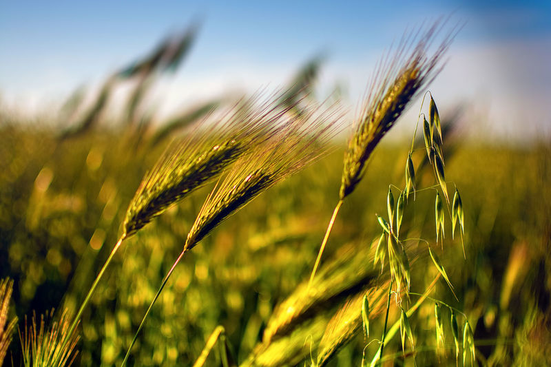 Agriculture Beauty In Nature Cereal Plant Close-up Crop  Ear Of Wheat Farm Field Focus On Foreground Green Color Growth Land Landscape Nature Outdoors Plant Plantation Rural Scene Rye - Grain Sky Tranquility Wheat