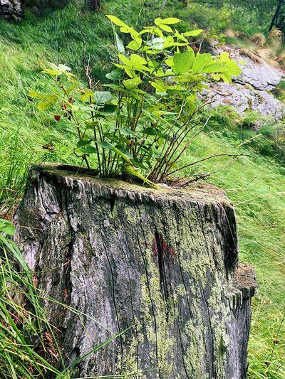 Dead Tree Tree Trunk Lampone Raspberry Alps Italy