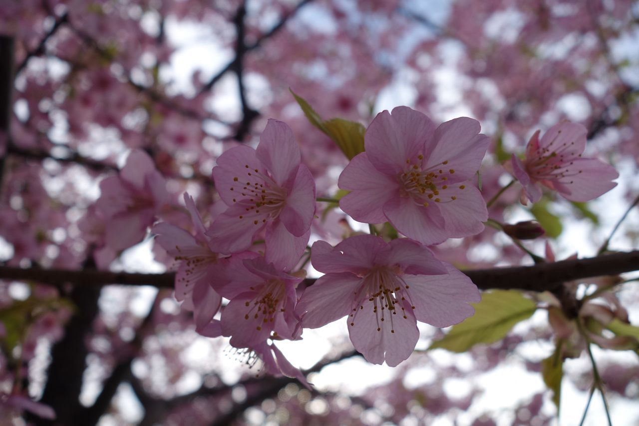 flower, fragility, blossom, springtime, beauty in nature, tree, cherry blossom, branch, pink color, growth, freshness, petal, nature, botany, apple blossom, stamen, day, flower head, no people, twig, low angle view, magnolia, close-up, orchard, pollen, outdoors, plum blossom, blooming