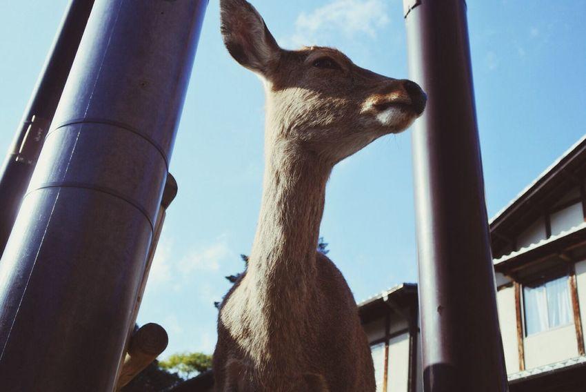 Animal Deer Nara Nara,Japan Nara Park Kasuga Taisha Kasuga Shrine Kasuga-taisha Japan Photo Photography