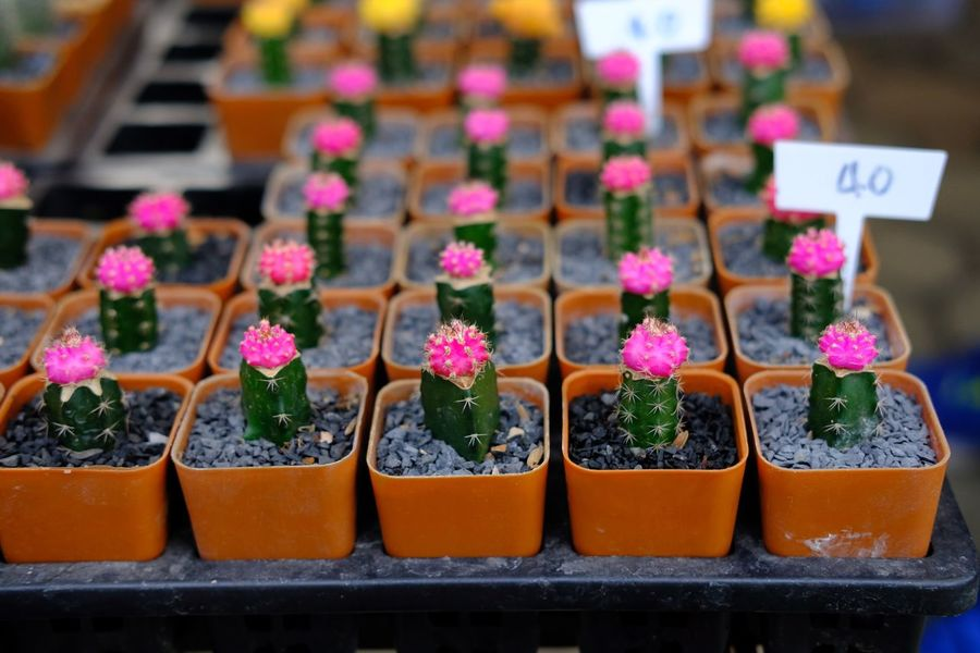 Cactus Cactuslover Cactus Collection Cactus Garden Cactus EyeEm Selects In A Row For Sale Retail  Arrangement Large Group Of Objects Variation Price Tag Small Business Indoors  Selective Focus Plant No People Store Multi Colored Focus On Foreground Collection Choice Close-up Market Growth