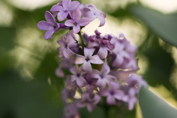 Syringa (lilac) Beauty In Nature Blooming Close-up Flower Flowers Flowers,Plants & Garden Growth Lilac Lilac Bush Lilac Flower Lilac Flowers Macro Macro_flower Macro Photography Nature Nature Petal Plant Purple Syringa (